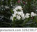 Nerium oleander, white, bloom 32623817