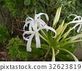 文殊 花朵 花 32623819
