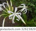 文殊 花朵 花 32623820
