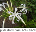 crinum, bloom, blossom 32623820
