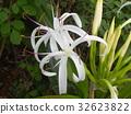文殊 花朵 花 32623822