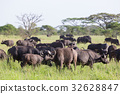 African Buffalo herd in the Ngorongoro Crater 32628847