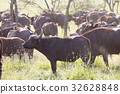 African Buffalo herd in the Ngorongoro Crater 32628848