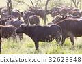 buffalo, African, animal 32628848