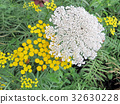 Thornhill yellow and white wildflowers 2017 32630228