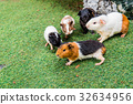 Guinea pig is a popular household pet 32634956