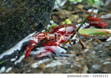 American crayfish 32636131