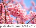 Japanese cherry blossom or Pink Sakura flower 32645217