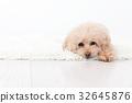 家庭室內狗 32645876