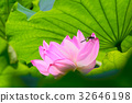 lotus, bloom, blossom 32646198