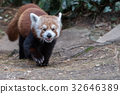 red panda close up portrait 32646389