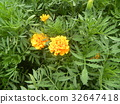 marigold, yellow, bloom 32647418