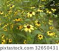 rudbeckia, yellow, bloom 32650431