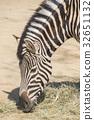 Chapman Zebra, Equus Burchelli Chapmani 32651132