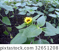 yellow, annual plant, capitulum 32651208