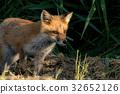 Little fox 4 32652126