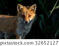 Little fox 5 32652127