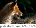 Little fox 6 32652128