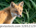 Little fox 7 32652129
