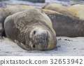Southern Elephant Seals 32653942