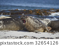 Southern Elephant Seals  32654126