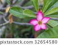 natural flowers Azalea flowers. 32654580