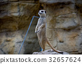 動物 哺乳動物 狐獴 32657624