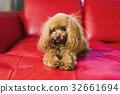 Toy poodle lies on the red couch 32661694