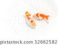 금붕어, 관상어, 관상용 어류 32662582