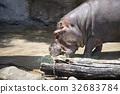 天竺寺動物園 河馬 吃 32683784