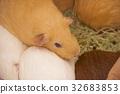 텐 노지 동물원 기니피그 32683853