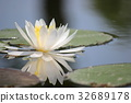 lotu, water, lily 32689178