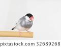 禾雀 爪哇雀 稻田鸟 32689268