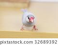 禾雀 爪哇雀 鳥兒 32689392