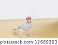 禾雀 爪哇雀 稻田鸟 32689393