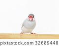禾雀 爪哇雀 稻田鸟 32689448