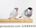 禾雀 爪哇雀 鸟儿 32689449