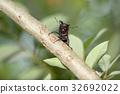 鋸齒狀的鹿角甲蟲 鍬形蟲 鞘翅目 32692022