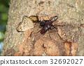 鋸齒狀的鹿角甲蟲 鍬形蟲 鞘翅目 32692027