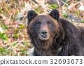 知床棕熊1 32693673