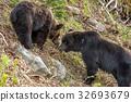 Shiretoko brown bears 6 32693679