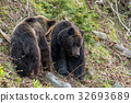 Shiretoko brown bears 8 32693689