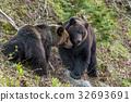 brown, bear, bears 32693691