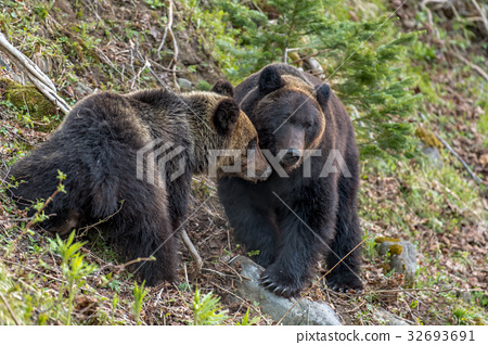 Shiretoko brown bears 10 32693691