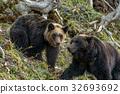 Shiretoko brown bears 17 32693692
