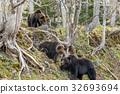 brown, bear, bears 32693694