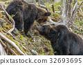 Shiretoko brown bears 13 32693695