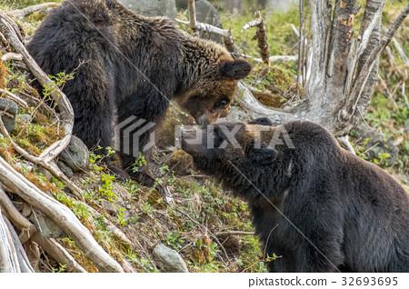 시레토코의 불곰들 13 32693695