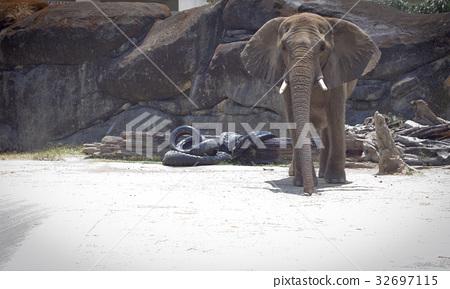 코끼리 32697115