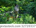 狼 動物 哺乳動物 32720337